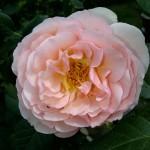Garten-Rose-Heritage-David-Austin