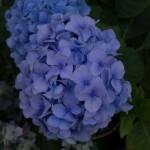 Hortensie-blau-Bauernhortensie