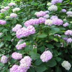 Hortensie im Cottage Garten