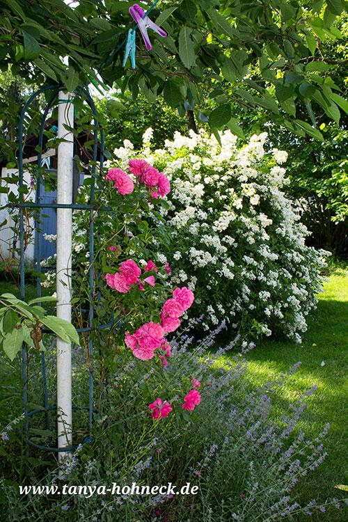 haus rote rose lecken und blasen