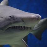 Hai: Angriff oder Mitfahrgelegenheit